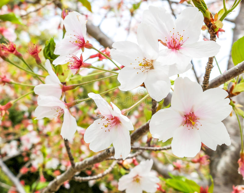Beautiful Blooming Branch of White Sakura Flowers or Cherry Blossom Flowers Blooming on The Tree in Japan, Natural Background stock images