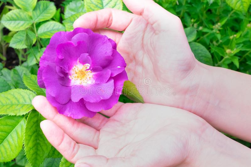 Beautiful blooming bright pink rose with green leaves is growing in young girl`s hands stock photography