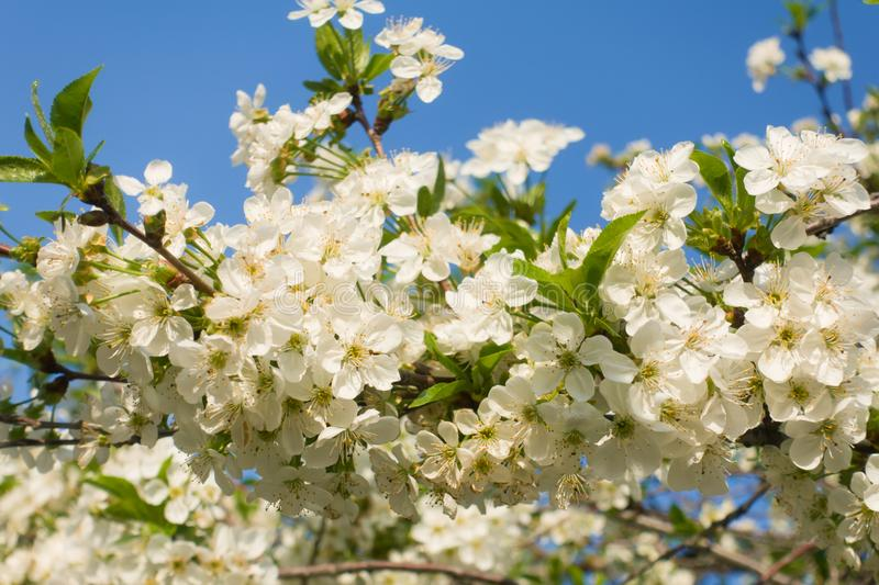 Beautiful blooming cherry flowers and blue sky. stock image