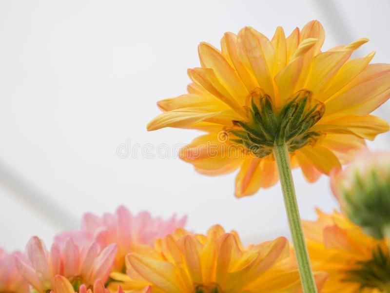 Beautiful blooming chrysanthemum flowers with green leaves in the garden. Nature background stock photography