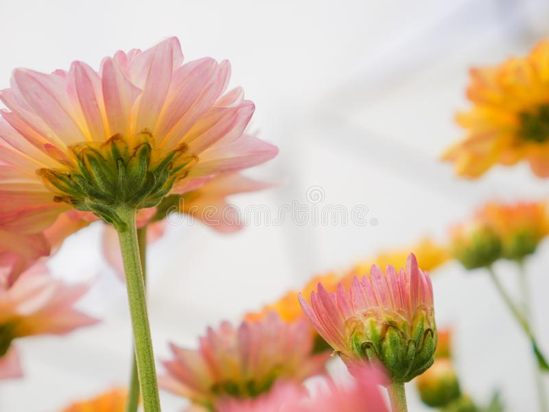 Beautiful blooming chrysanthemum flowers with green leaves in the garden. Nature background stock photo