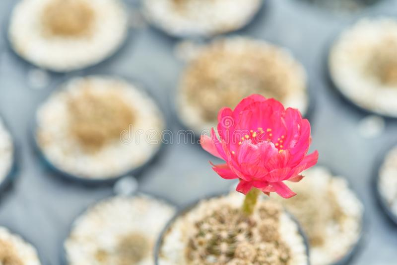 Beautiful blooming desert cactus flower in pot at garden, Selective focus of red flower blossoming cactus in natural royalty free stock photo
