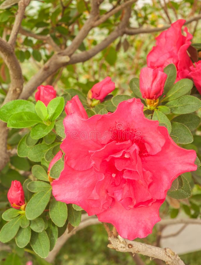 Pink double azalea rhododendron in the greenhouse stock photography