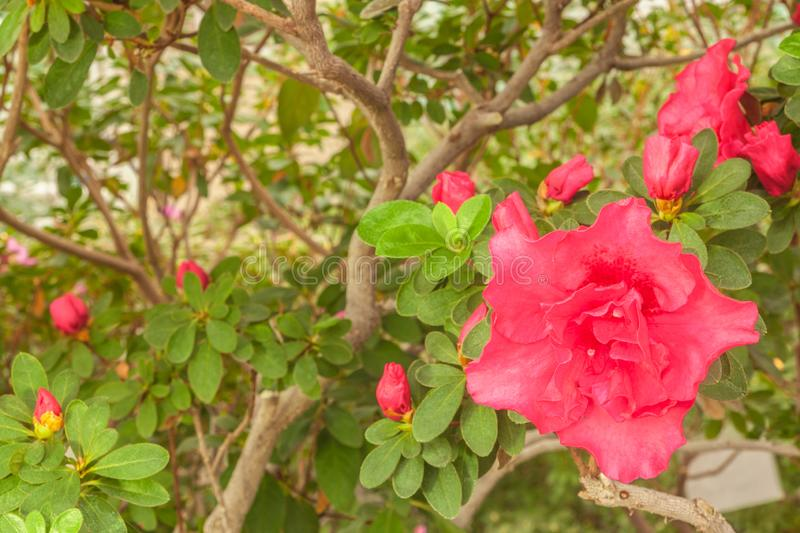 Pink double azalea rhododendron in the greenhouse royalty free stock photos