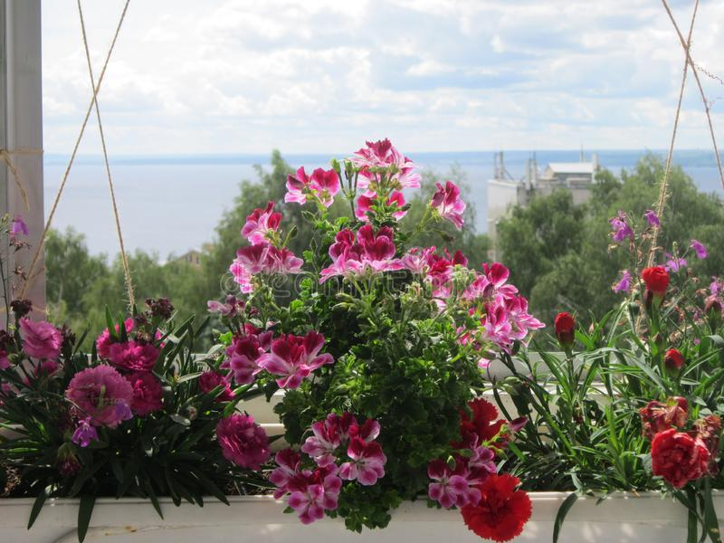 Beautiful blooming garden on the balcony. Flowers of geranium and carnation growing in the pot stock images