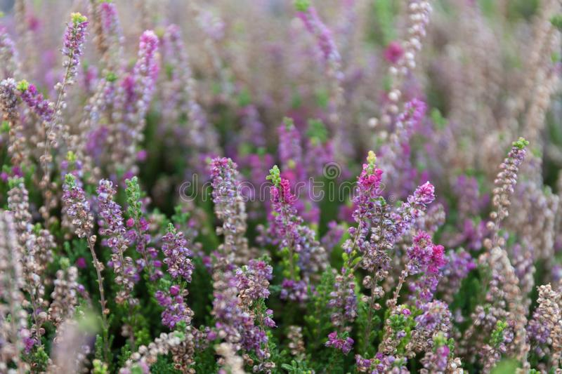 Beautiful blooming heather in a wild field.  royalty free stock photography