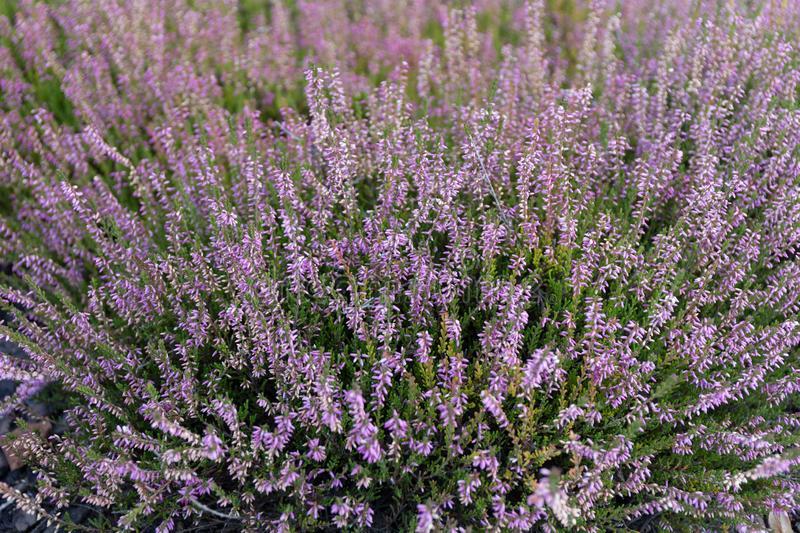 Beautiful blooming heather in a wild field.  royalty free stock photo