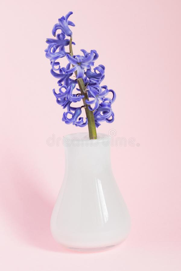 Beautiful blooming hyacinth in white glass vase on blue background. Spring bouquet for interior decoration; Creative background royalty free stock photos