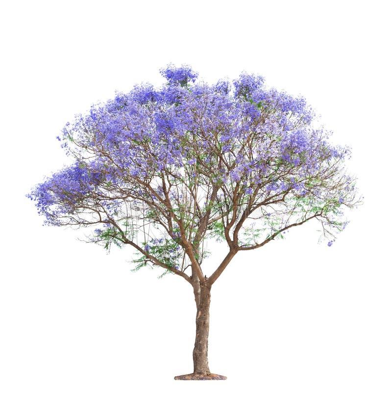 Beautiful blooming Jacaranda tree stock images