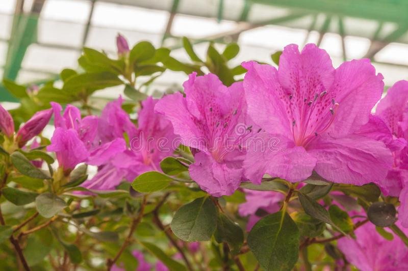 Lilac azalea rhododendron in the greenhouse stock photography