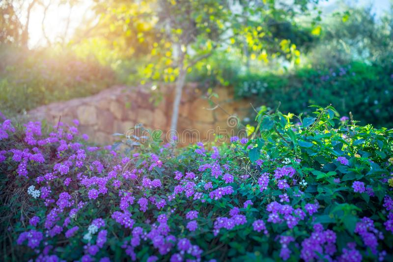 Beautiful blooming orchard royalty free stock photo