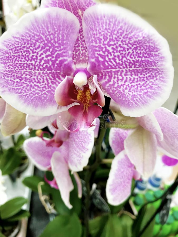 Beautiful blooming orchid flowers -closeup royalty free stock image