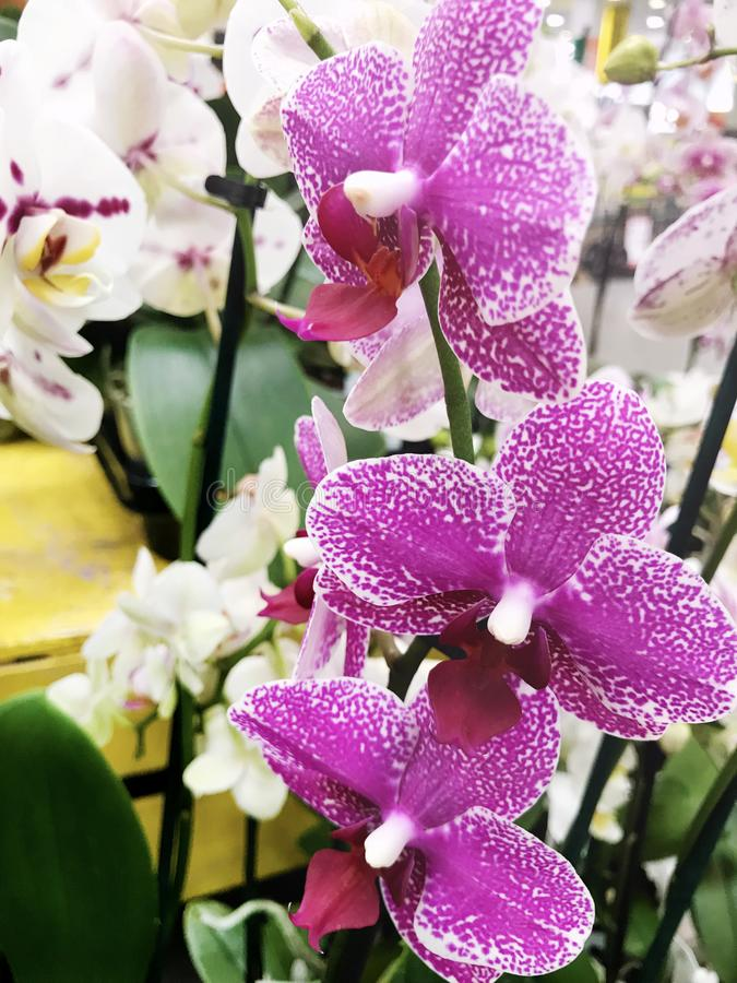 Beautiful blooming orchid flowers -closeup royalty free stock photos