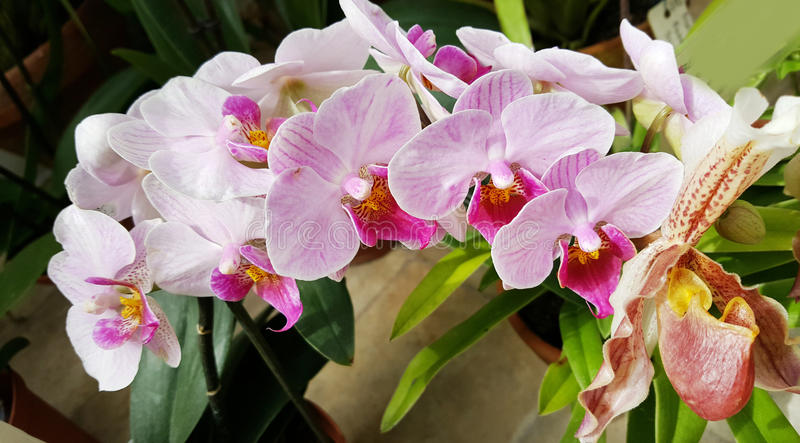 Beautiful blooming orchid flowers -closeup stock photography