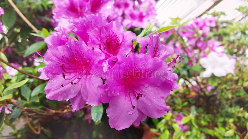 Beautiful blooming pink azalea flowers -closeup royalty free stock image
