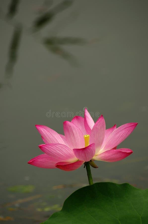 Blooming lotus flower in a pool stock image image of colours download blooming lotus flower in a pool stock image image of colours lotus mightylinksfo