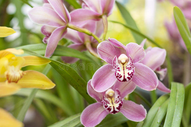 Beautiful blooming pink orchid flowers in hothouse royalty free stock photos