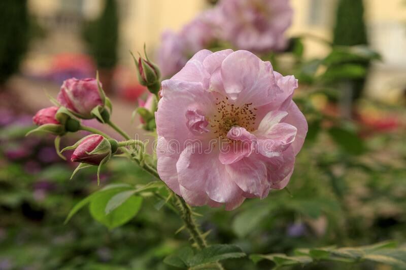 Beautiful blooming pink rose bush macro photo. Flowers on blurred greenery background with bokeh. Bloom in the summer garden. Soft. Beautiful blooming pink rose stock photos