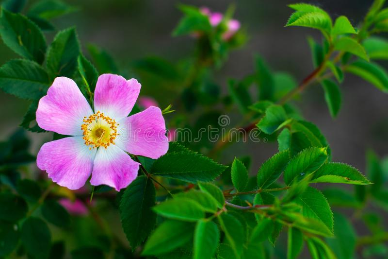 Beautiful blooming pink wild rose bush dog rose, Rosa canina stock image