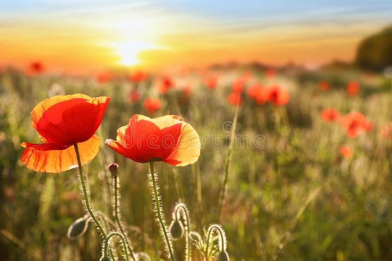 Beautiful blooming poppy flowers in field at sunset. Space for text stock photos