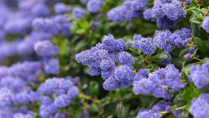Beautiful blooming purple Californian lilac flowers, Ceanothus thyrsiflorus repens in spring garden royalty free stock photos