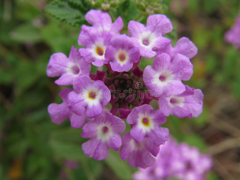 Beautiful Blooming Purple Flowers, Israel. Amazing Purple flowers blooming in Winter stock image