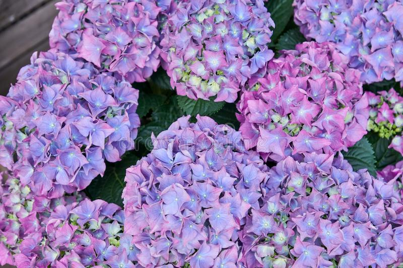 Beautiful blooming purple hydrangea flowers in the garden. Floral background royalty free stock photography
