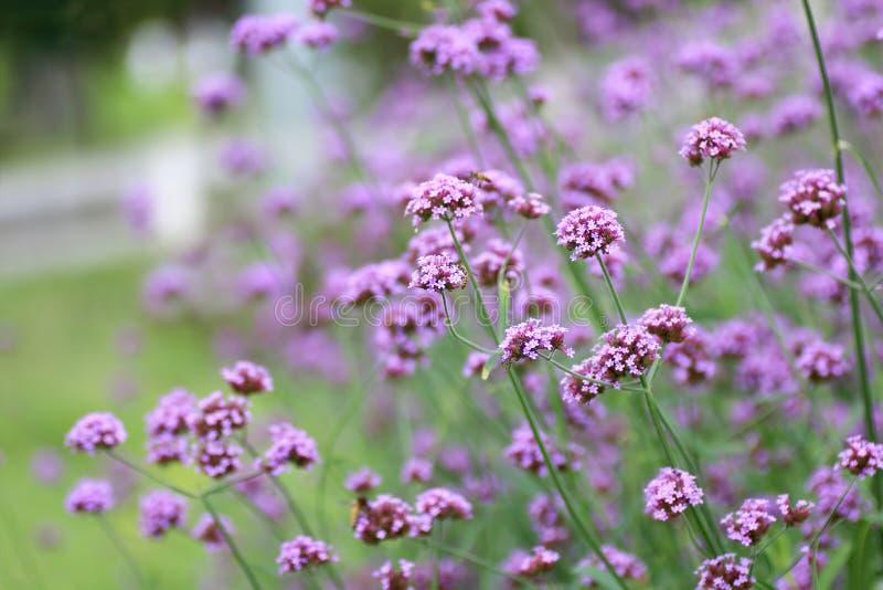 Beautiful blooming purple verbena flower in garden stock photos