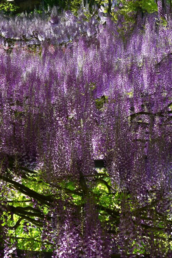 Beautiful Purple Wisteria In Bloom Blooming Wisteria Tunnel In A