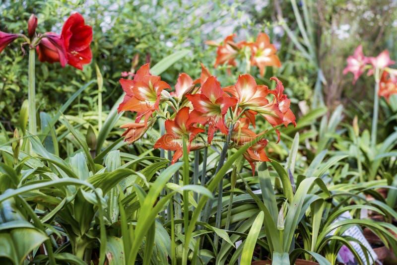 Beautiful blooming red Amaryllis flowers. Beautiful blooming amaryllis flowers in hothouse . Sofia Botanical Garden stock image
