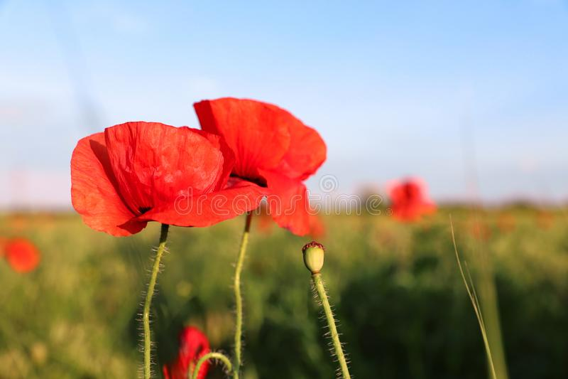 Beautiful blooming red poppy flowers in field on sunny day. Space for text royalty free stock image