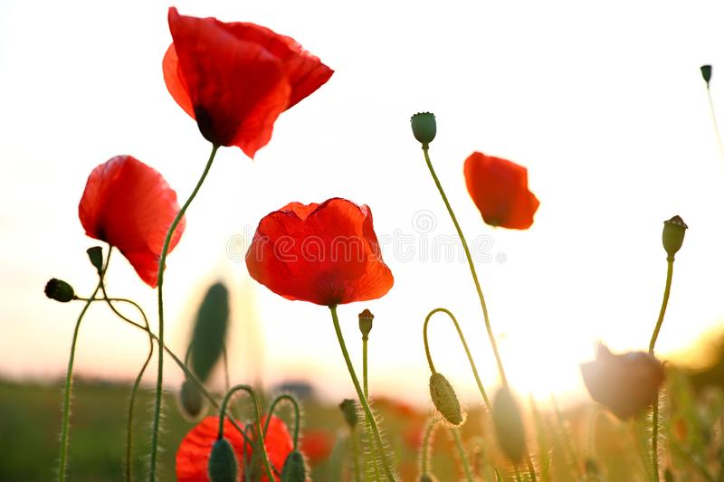 Beautiful blooming red poppy flowers in field. At sunset stock photography