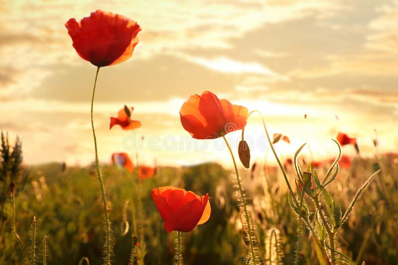 Beautiful blooming red poppy flowers in field. At sunset stock image