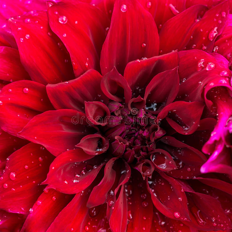 Free Beautiful Blooming Red Velvet Petals Dahlia Macro Of Raindrops, Royalty Free Stock Image - 48470616