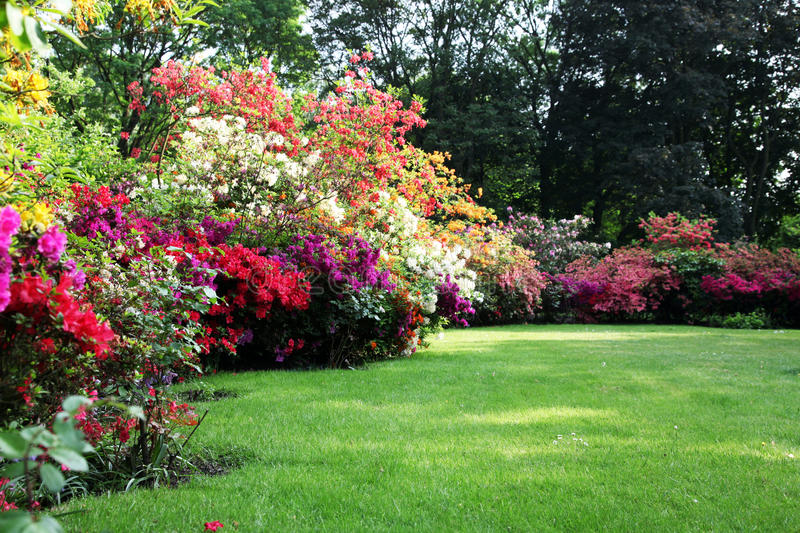 Beautiful blooming rhododendron in the garden royalty free stock images