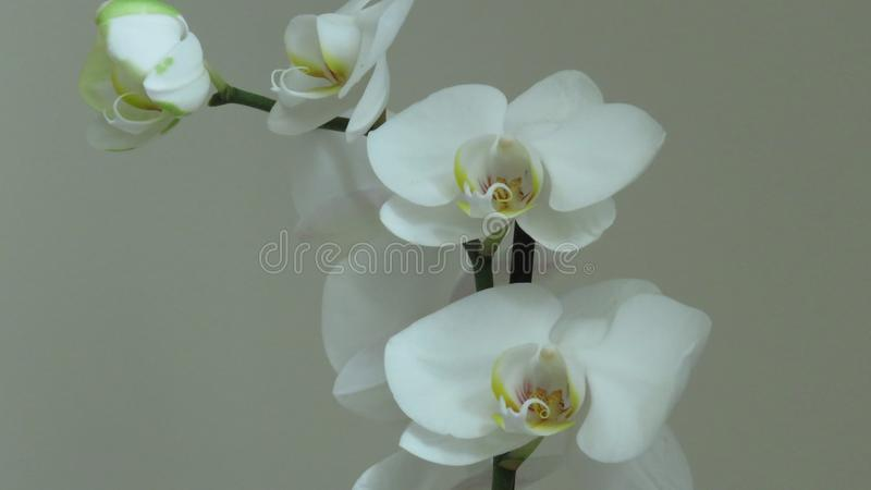 White Orchid. Grey Background. Phalaenopsis known as moth. Orchids. A Beautiful Blooming Single White Orchid on Grey Background. Stylish Orchid Bouquet. Orchid stock photo