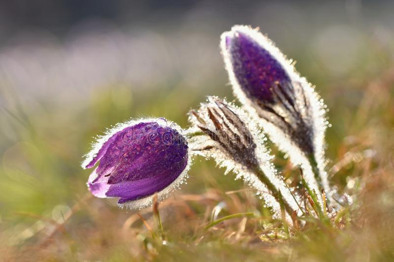 Beautiful blooming spring flowers. Natural colored blurred background. (Pasque Flowers - Pulsatilla grandis). Seasonal photo of spring and nature royalty free stock photo