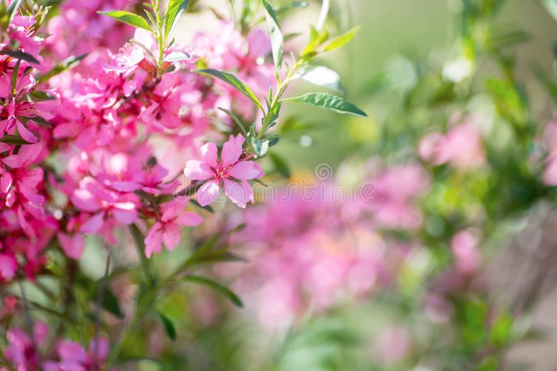 Beautiful blooming spring pink cherry branch with blurred background, copy space stock photography