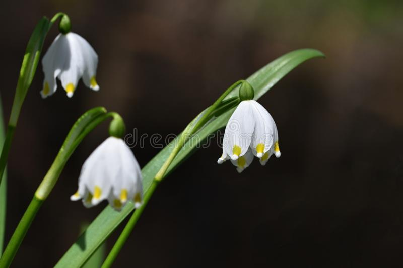 Beautiful blooming spring snowflakes flowers. (leucojum vernum carpaticum). Beautiful blooming spring snowflakes flowers. leucojum vernum carpaticum Springtime royalty free stock photography