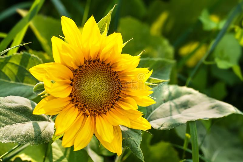 Beautiful blooming sunflower. Bright yellow petals green leaves plant sunny day summer landscape, farmers field stock photos