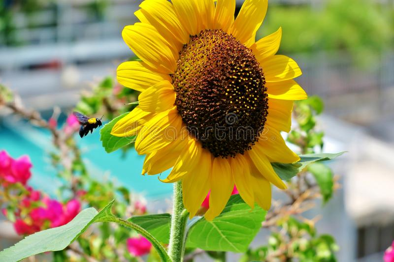Beautiful blooming sunflower yellow-bright color with a flying bumblebee near it stock photo