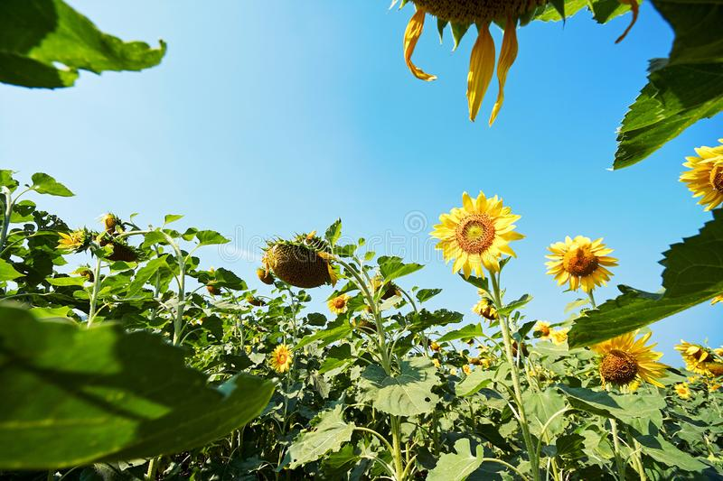 Beautiful blooming sunflowers in the fields with blue sky stock photos