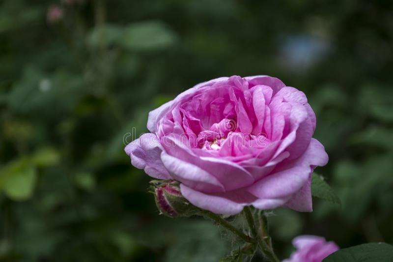 Beautiful blooming tea rose. Macro shot. The tenderness of flower. Background for gift card royalty free stock photos