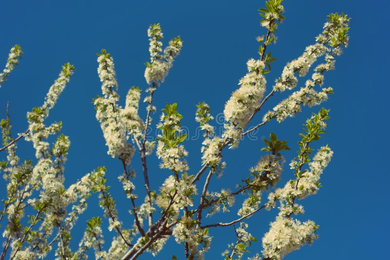 Beautiful blooming tree and clear blue sky. Flowers on a branch stock photos