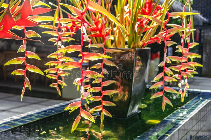 Beautiful blooming tropical Heliconia flower grown in the garden of the house. Beautiful blooming tropical Heliconia flower grown in the garden of the house stock images