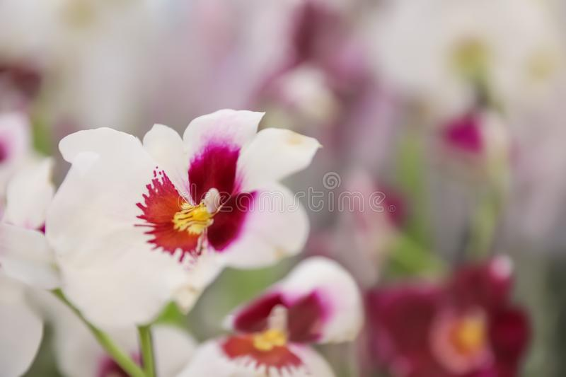 Beautiful blooming tropical orchid on blurred background, closeup. stock image