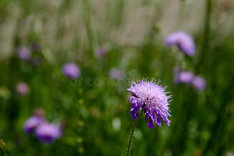 Beautiful blooming violet flowers in field stock photos
