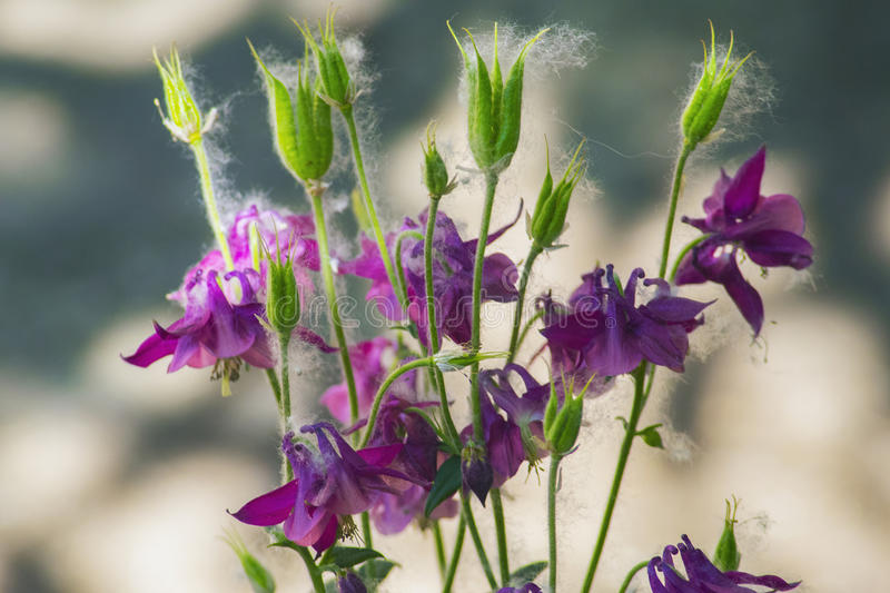 Beautiful blooming violet flowers in the garden royalty free stock image