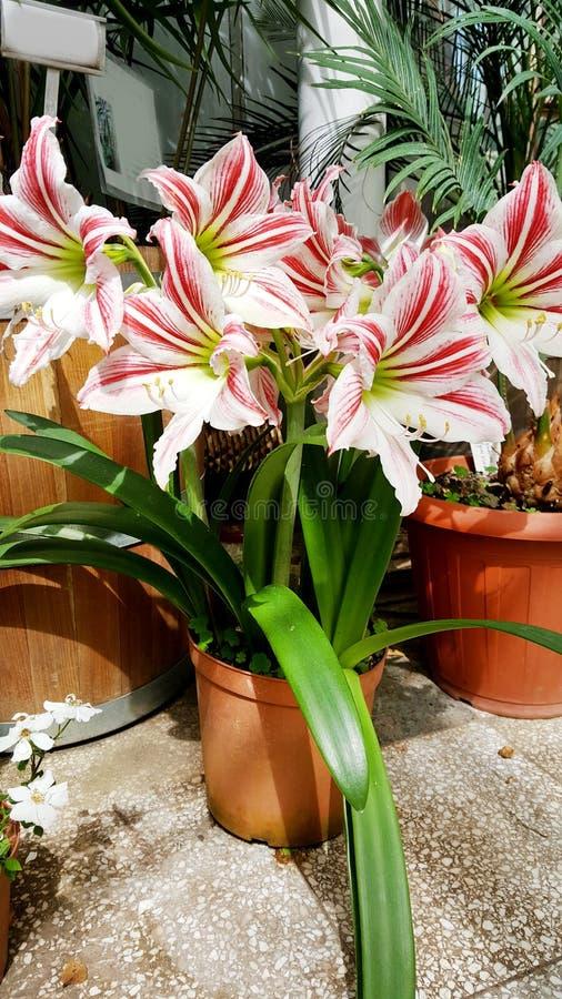 Beautiful blooming white Amaryllis flowers. Beautiful blooming amaryllis flowers in hothouse . Sofia Botanical Garden royalty free stock image