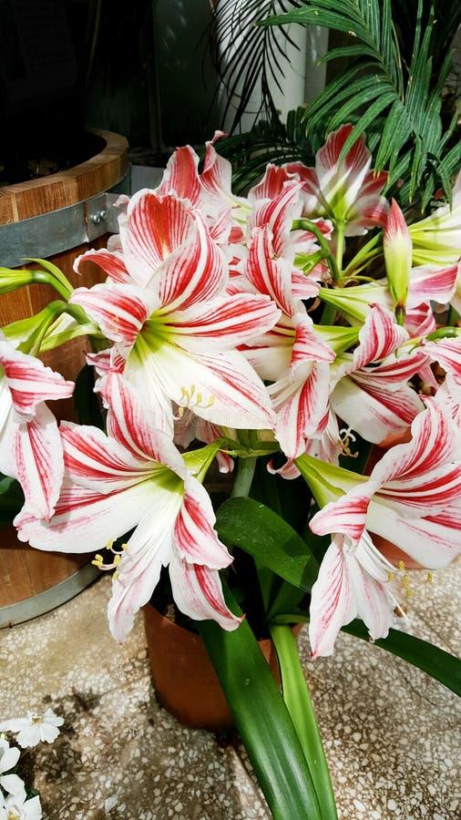 Beautiful blooming white Amaryllis flowers. Beautiful blooming amaryllis flowers in hothouse . Sofia Botanical Garden royalty free stock photos